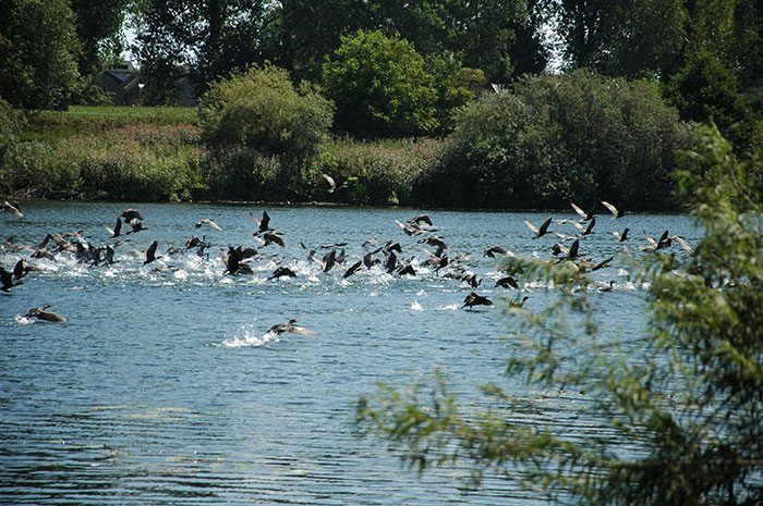 De concurrentie is heftig! Honderden aalscholvers terroriseren de rivier.. Gelukkig blijven de meeste karpers buiten schot.