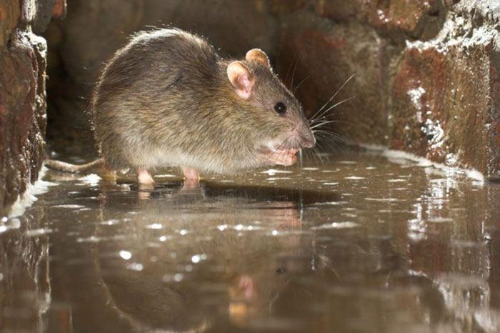 Afbeeldingsresultaat voor rat weil