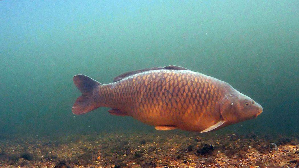 https://karperwereld.nl/wp-content/uploads/2017/08/karper-onderwater-ronald-nijhoff-1050x590.jpg