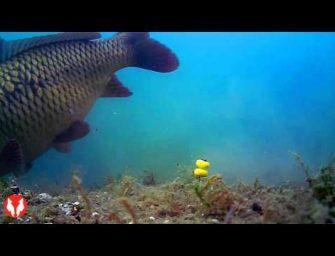 Toffe onderwater beelden – karpers pakken plastic haakaas