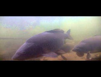 Karpers chillen hem hard voor de onderwatercamera