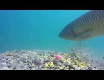 Karpers onderwater gefilmd in HD